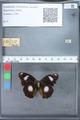 http://mczbase.mcz.harvard.edu/specimen_images/ent-lepidoptera/images/2010_03_12/IMG_035944.JPG