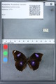 http://mczbase.mcz.harvard.edu/specimen_images/ent-lepidoptera/images/2010_03_15/IMG_035967.JPG
