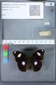 http://mczbase.mcz.harvard.edu/specimen_images/ent-lepidoptera/images/2010_03_15/IMG_035968.JPG