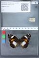 http://mczbase.mcz.harvard.edu/specimen_images/ent-lepidoptera/images/2010_03_15/IMG_035971.JPG