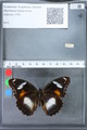 http://mczbase.mcz.harvard.edu/specimen_images/ent-lepidoptera/images/2010_03_15/IMG_035972.JPG
