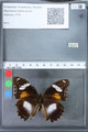 http://mczbase.mcz.harvard.edu/specimen_images/ent-lepidoptera/images/2010_03_15/IMG_035973.JPG