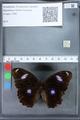 http://mczbase.mcz.harvard.edu/specimen_images/ent-lepidoptera/images/2010_03_15/IMG_035975.JPG