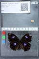 http://mczbase.mcz.harvard.edu/specimen_images/ent-lepidoptera/images/2010_03_15/IMG_035976.JPG