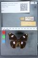 http://mczbase.mcz.harvard.edu/specimen_images/ent-lepidoptera/images/2010_03_15/IMG_035978.JPG
