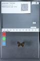 http://mczbase.mcz.harvard.edu/specimen_images/ent-lepidoptera/images/2010_03_26/IMG_036862.JPG