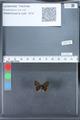 http://mczbase.mcz.harvard.edu/specimen_images/ent-lepidoptera/images/2010_03_26/IMG_036864.JPG