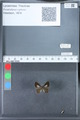 http://mczbase.mcz.harvard.edu/specimen_images/ent-lepidoptera/images/2010_03_26/IMG_036881.JPG