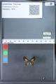 http://mczbase.mcz.harvard.edu/specimen_images/ent-lepidoptera/images/2010_03_26/IMG_036882.JPG