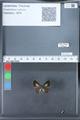 http://mczbase.mcz.harvard.edu/specimen_images/ent-lepidoptera/images/2010_03_26/IMG_036884.JPG