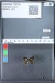 http://mczbase.mcz.harvard.edu/specimen_images/ent-lepidoptera/images/2010_03_26/IMG_036886.JPG