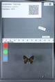 http://mczbase.mcz.harvard.edu/specimen_images/ent-lepidoptera/images/2010_03_26/IMG_036893.JPG