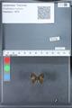 http://mczbase.mcz.harvard.edu/specimen_images/ent-lepidoptera/images/2010_03_26/IMG_036901.JPG