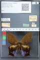 http://mczbase.mcz.harvard.edu/specimen_images/ent-lepidoptera/images/2010_03_26/IMG_037040.JPG