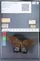 http://mczbase.mcz.harvard.edu/specimen_images/ent-lepidoptera/images/2010_03_26/IMG_037042.JPG