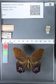 http://mczbase.mcz.harvard.edu/specimen_images/ent-lepidoptera/images/2010_03_26/IMG_037058.JPG