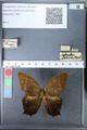 http://mczbase.mcz.harvard.edu/specimen_images/ent-lepidoptera/images/2010_03_26/IMG_037062.JPG