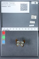 http://mczbase.mcz.harvard.edu/specimen_images/ent-lepidoptera/images/2010_03_30/IMG_037468.JPG