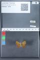 http://mczbase.mcz.harvard.edu/specimen_images/ent-lepidoptera/images/2010_03_30/IMG_037494.JPG