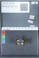 http://mczbase.mcz.harvard.edu/specimen_images/ent-lepidoptera/images/2010_03_30/IMG_037513.JPG