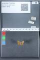 http://mczbase.mcz.harvard.edu/specimen_images/ent-lepidoptera/images/2010_03_30/IMG_037610.JPG