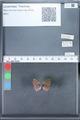 http://mczbase.mcz.harvard.edu/specimen_images/ent-lepidoptera/images/2010_03_30/IMG_037644.JPG