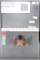 http://mczbase.mcz.harvard.edu/specimen_images/ent-lepidoptera/images/2010_04_08/IMG_039496.JPG