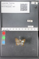 http://mczbase.mcz.harvard.edu/specimen_images/ent-lepidoptera/images/2010_04_12/IMG_040083.JPG
