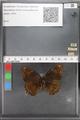 http://mczbase.mcz.harvard.edu/specimen_images/ent-lepidoptera/images/2010_04_20/IMG_041569.JPG