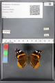 http://mczbase.mcz.harvard.edu/specimen_images/ent-lepidoptera/images/2010_05_10/IMG_044756.JPG