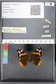 http://mczbase.mcz.harvard.edu/specimen_images/ent-lepidoptera/images/2010_05_10/IMG_044788.JPG