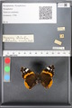 http://mczbase.mcz.harvard.edu/specimen_images/ent-lepidoptera/images/2010_05_10/IMG_044791.JPG