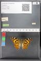 http://mczbase.mcz.harvard.edu/specimen_images/ent-lepidoptera/images/2010_05_10/IMG_044919.JPG