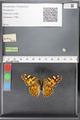 http://mczbase.mcz.harvard.edu/specimen_images/ent-lepidoptera/images/2010_05_10/IMG_044920.JPG