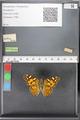 http://mczbase.mcz.harvard.edu/specimen_images/ent-lepidoptera/images/2010_05_10/IMG_044921.JPG