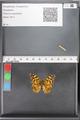 http://mczbase.mcz.harvard.edu/specimen_images/ent-lepidoptera/images/2010_05_10/IMG_044945.JPG