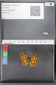 http://mczbase.mcz.harvard.edu/specimen_images/ent-lepidoptera/images/2010_05_10/IMG_044946.JPG