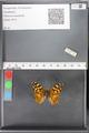 http://mczbase.mcz.harvard.edu/specimen_images/ent-lepidoptera/images/2010_05_10/IMG_044948.JPG
