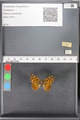 http://mczbase.mcz.harvard.edu/specimen_images/ent-lepidoptera/images/2010_05_10/IMG_044951.JPG