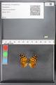 http://mczbase.mcz.harvard.edu/specimen_images/ent-lepidoptera/images/2010_05_10/IMG_044952.JPG