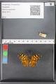 http://mczbase.mcz.harvard.edu/specimen_images/ent-lepidoptera/images/2010_05_10/IMG_044953.JPG