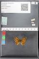 http://mczbase.mcz.harvard.edu/specimen_images/ent-lepidoptera/images/2010_05_10/IMG_044955.JPG