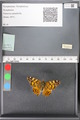 http://mczbase.mcz.harvard.edu/specimen_images/ent-lepidoptera/images/2010_05_10/IMG_044959.JPG