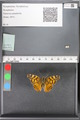 http://mczbase.mcz.harvard.edu/specimen_images/ent-lepidoptera/images/2010_05_10/IMG_044962.JPG