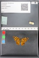 http://mczbase.mcz.harvard.edu/specimen_images/ent-lepidoptera/images/2010_05_10/IMG_044963.JPG