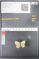 http://mczbase.mcz.harvard.edu/specimen_images/ent-lepidoptera/images/2010_07_12/IMG_050109.JPG