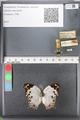 http://mczbase.mcz.harvard.edu/specimen_images/ent-lepidoptera/images/2010_08_04/IMG_051592.JPG