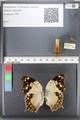 http://mczbase.mcz.harvard.edu/specimen_images/ent-lepidoptera/images/2010_08_04/IMG_051593.JPG