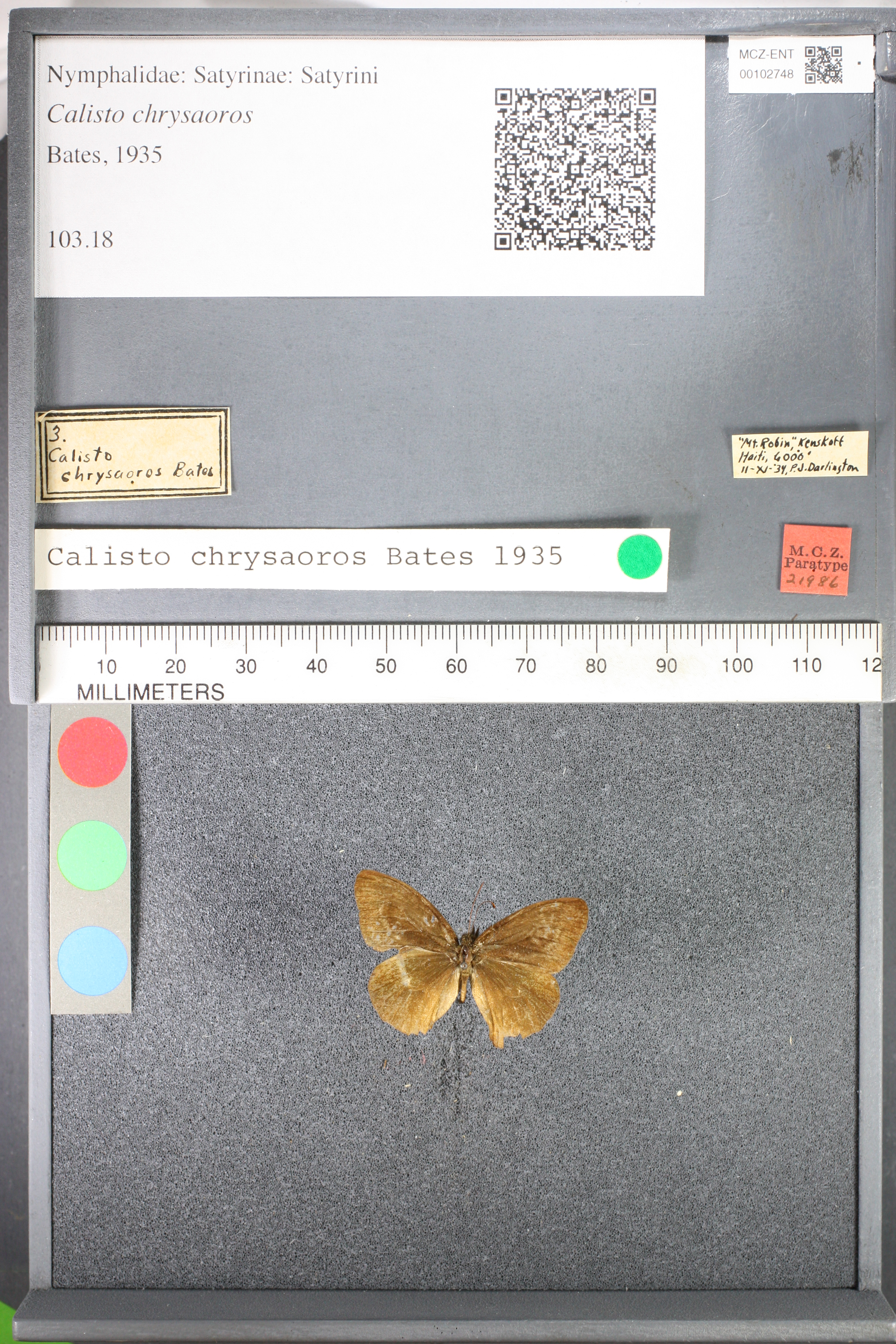 Media of type image, MCZ:Ent:102748 Identified as Calisto chrysaoros type status Paratype of Calisto chrysaoros.