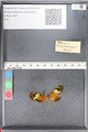 http://mczbase.mcz.harvard.edu/specimen_images/ent-lepidoptera/images/2010_11_20/IMG_059848.JPG